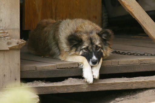 Анализ стихотворения «Собака» (И. А. Бунин)