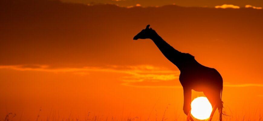 Полный анализ стихотворения «Жираф» (Н.С. Гумилев)